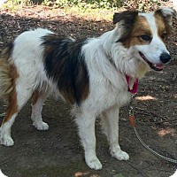 Adopt A Pet :: Sweets - Brattleboro, VT
