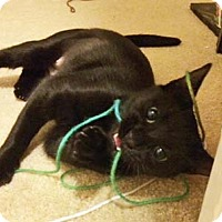 Adopt A Pet :: Mascara - Merrifield, VA
