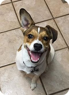 Jack Russell Terrier/Australian Cattle Dog Mix Puppy for adoption in Bedminster, New Jersey - Rowdy