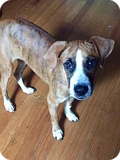 Boxer Mix Puppy for adoption in Manchester, Connecticut - Bryne in CT