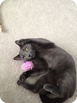 Russian Blue Cat for adoption in Sewaren, New Jersey - Winston
