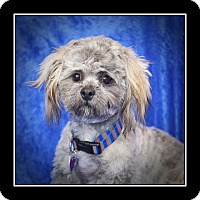 Adopt A Pet :: Valentino - San Diego, CA