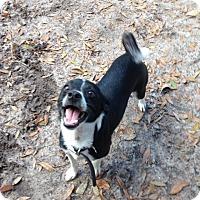 Adopt A Pet :: Bently - Groveland, FL