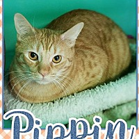 Domestic Shorthair Kitten for adoption in Edwards AFB, California - Pippin