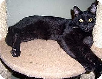 Domestic Shorthair Cat for adoption in Los Angeles, California - Tyson