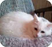 Domestic Longhair Cat for adoption in Anchorage, Alaska - Nicole