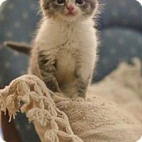Adopt A Pet :: Crosby blue & white - McDonough, GA