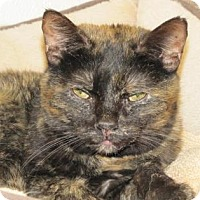Domestic Shorthair Cat for adoption in Woodstock, Illinois - ZsaZsa