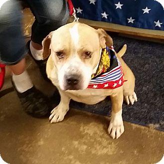 Staffordshire Bull Terrier Mix Dog for adoption in Walthill, Nebraska - Apollo