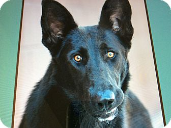 German Shepherd Dog Puppy for adoption in Los Angeles, California - PRINCESS VON PRUM