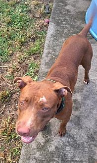 Terrier (Unknown Type, Medium) Mix Dog for adoption in Homestead, Florida - Jayna (courtesy gillian)