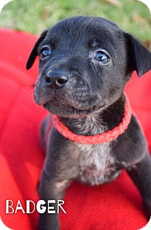 Australian Cattle Dog Mix Puppy for adoption in DFW, Texas - Badger