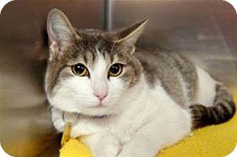 Domestic Mediumhair Cat for adoption in Mountain Home, Arkansas - Diva