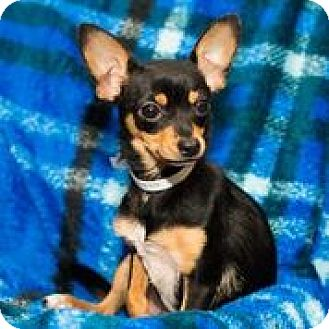 Chihuahua Mix Dog for adoption in Raleigh, North Carolina - A - GUCCI