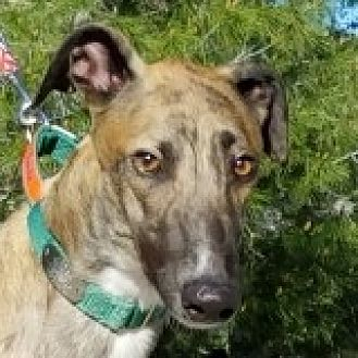 Greyhound Dog for adoption in El Cajon, California - Baldo