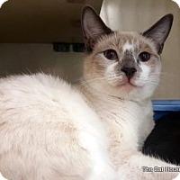 Siamese Cat for adoption in Fresno, California - Sally