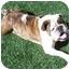 Photo 1 - English Bulldog Dog for adoption in San Diego, California - Vernon-Adoption Pending