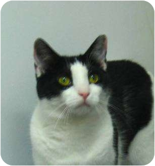 Domestic Shorthair Cat for adoption in Jenkintown, Pennsylvania - Toph