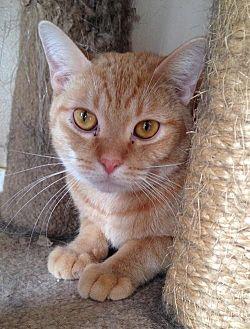 Domestic Shorthair Cat for adoption in Lakewood, California - DAWSON