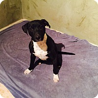 Pit Bull Terrier Mix Puppy for adoption in Snyder, Texas - Jane