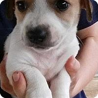 Adopt A Pet :: Beetle - Gainesville, FL