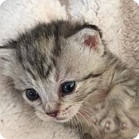 Adopt A Pet :: Angelica Schuyler - Union, KY