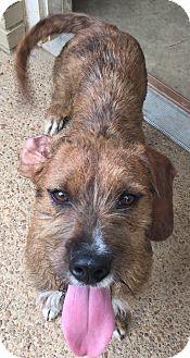Goldendoodle/Schnauzer (Standard) Mix Dog for adoption in Brattleboro, Vermont - FALCON