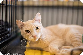 Domestic Shorthair Kitten for adoption in Fort Wayne, Indiana - Morrie