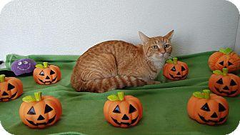 Domestic Shorthair Cat for adoption in China, Michigan - Tangerine