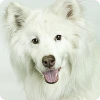Adopt A Pet :: Belle - Anchorage, AK