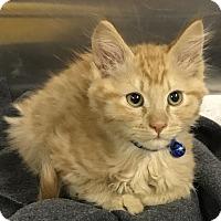 Adopt A Pet :: Murray Goldberg litter - Redding, CA
