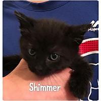 Adopt A Pet :: Shimmer - Herndon, VA