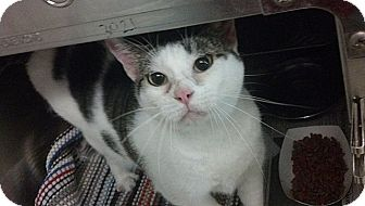 American Shorthair Cat for adoption in Tampa, Florida - Linx
