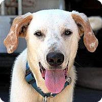 Adopt A Pet :: Curley - Nolensville, TN