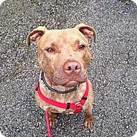 Pit Bull Terrier Mix Dog for adoption in Shelbyville, Kentucky - Duke