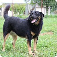 German Shepherd Dog Mix Dog for adoption in Nashua, New Hampshire - Harmony