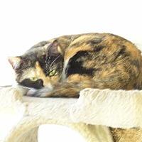 Calico Cat for adoption in Satellite Beach, Florida - Disco