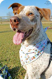 German Shorthaired Pointer Mix Dog for adoption in Boston, Massachusetts - Tatum