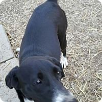 Labrador Retriever Mix Dog for adoption in Baileyton, Alabama - Rain