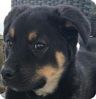Shepherd (Unknown Type)/Australian Kelpie Mix Puppy for adoption in Erie, Colorado - Guinness