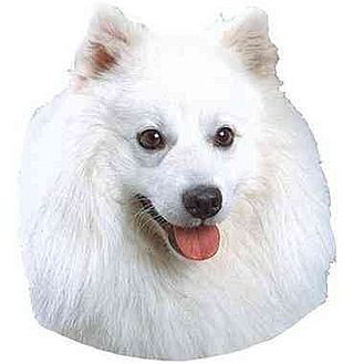 American Eskimo Dog Dog for adoption in Mooresville, North Carolina - FOSTERS NEEDED