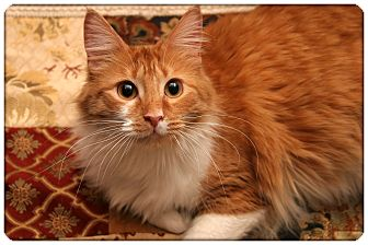 Domestic Mediumhair Cat for adoption in Sterling Heights, Michigan - Holly - ADOPTED!