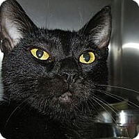 Domestic Shorthair Cat for adoption in Miami, Florida - Madison
