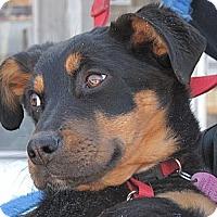 Adopt A Pet :: Duchess - Rigaud, QC