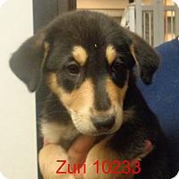 Adopt A Pet :: Zuri - baltimore, MD