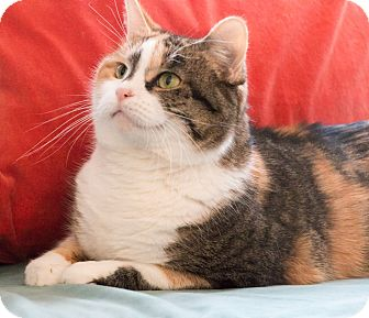 Calico Cat for adoption in Chicago, Illinois - Lucy