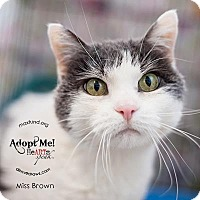 Domestic Shorthair Cat for adoption in Denver, Colorado - Miss Brown