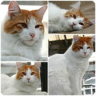 Domestic Shorthair Cat for adoption in Forked River, New Jersey - Rosco