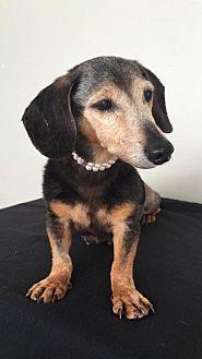 Dachshund Dog for adoption in Weston, Florida - Belle