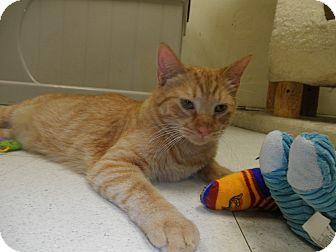Domestic Shorthair Cat for adoption in Milwaukee, Wisconsin - Hawkeye